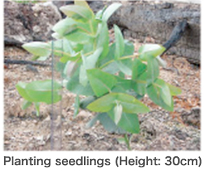 Planting seedlings (height: 30 m)
